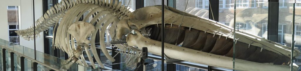 Skeleton of a Fin Whale at the Museum of Zoology, Cambridge