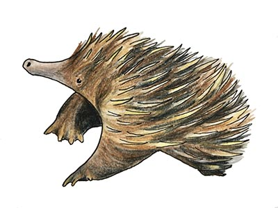 Illustration of a young echidna