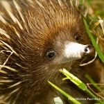 Portrait of a young echidna