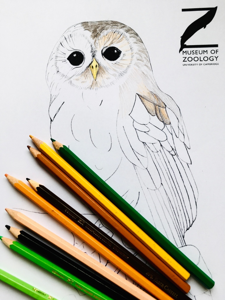 Colouring in sheet of tawny owl with pencil crayons
