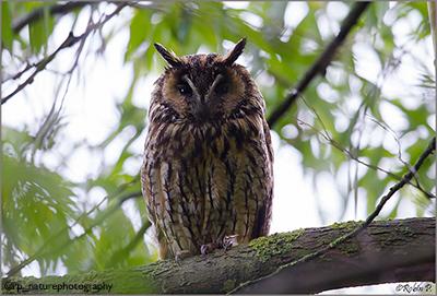 Photograph of a long-eared owl