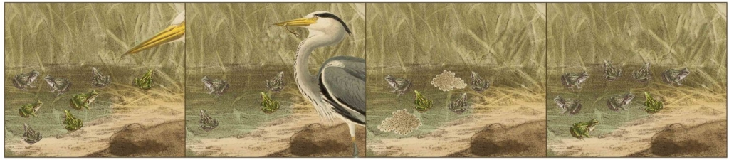 Comic strip showing natural selection with frogs and herons