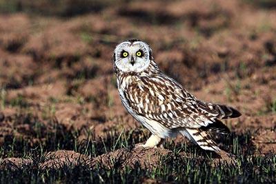 Photograph of a short-eared owl