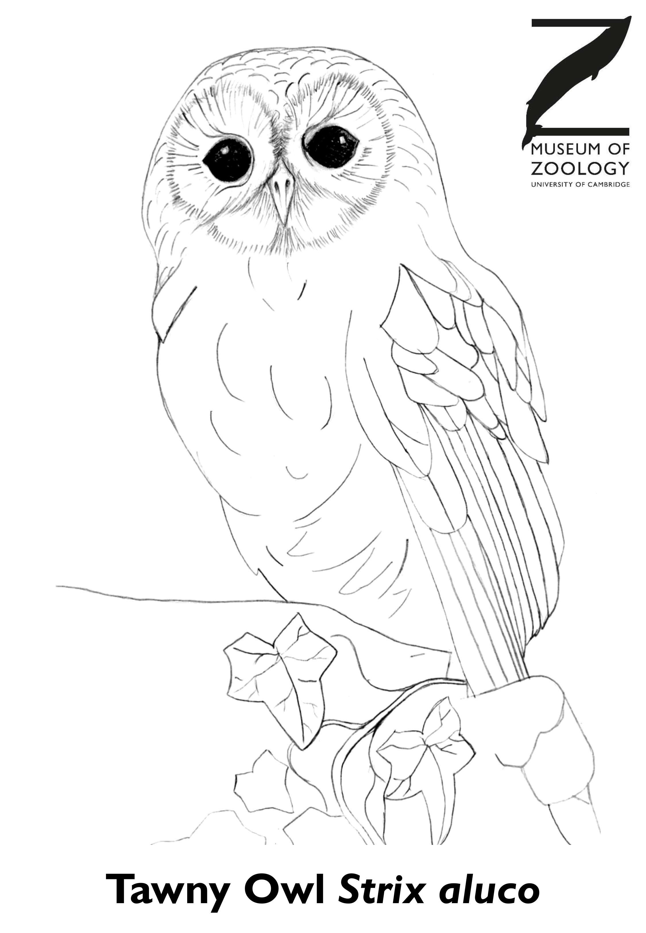 Blank tawny owl colouring sheet