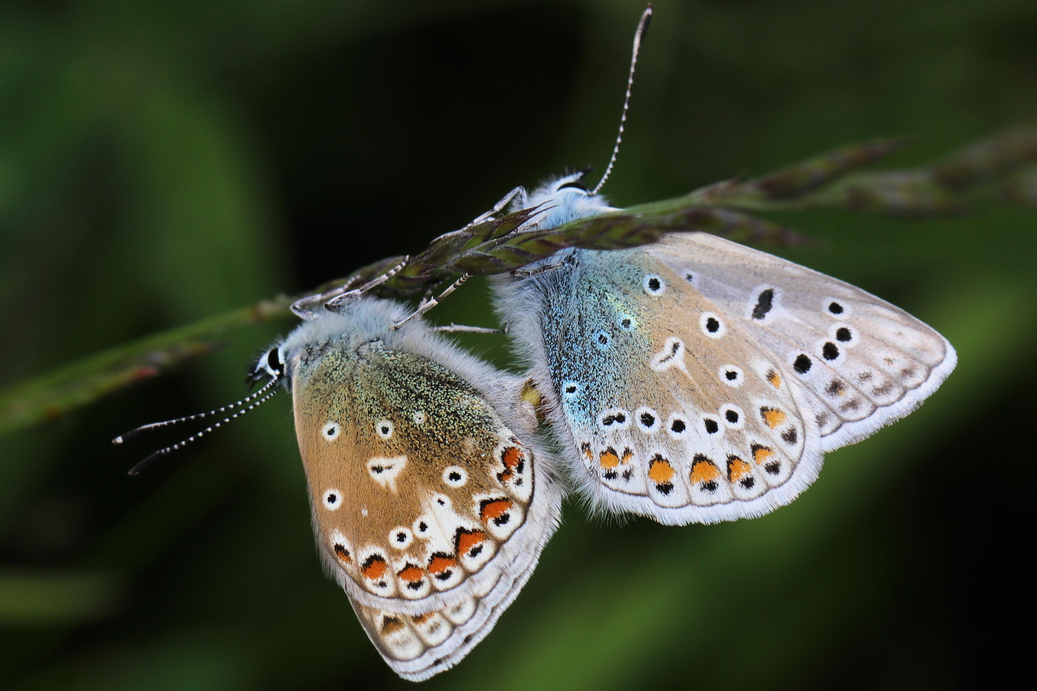 Common blues mating, credit Ed Turner