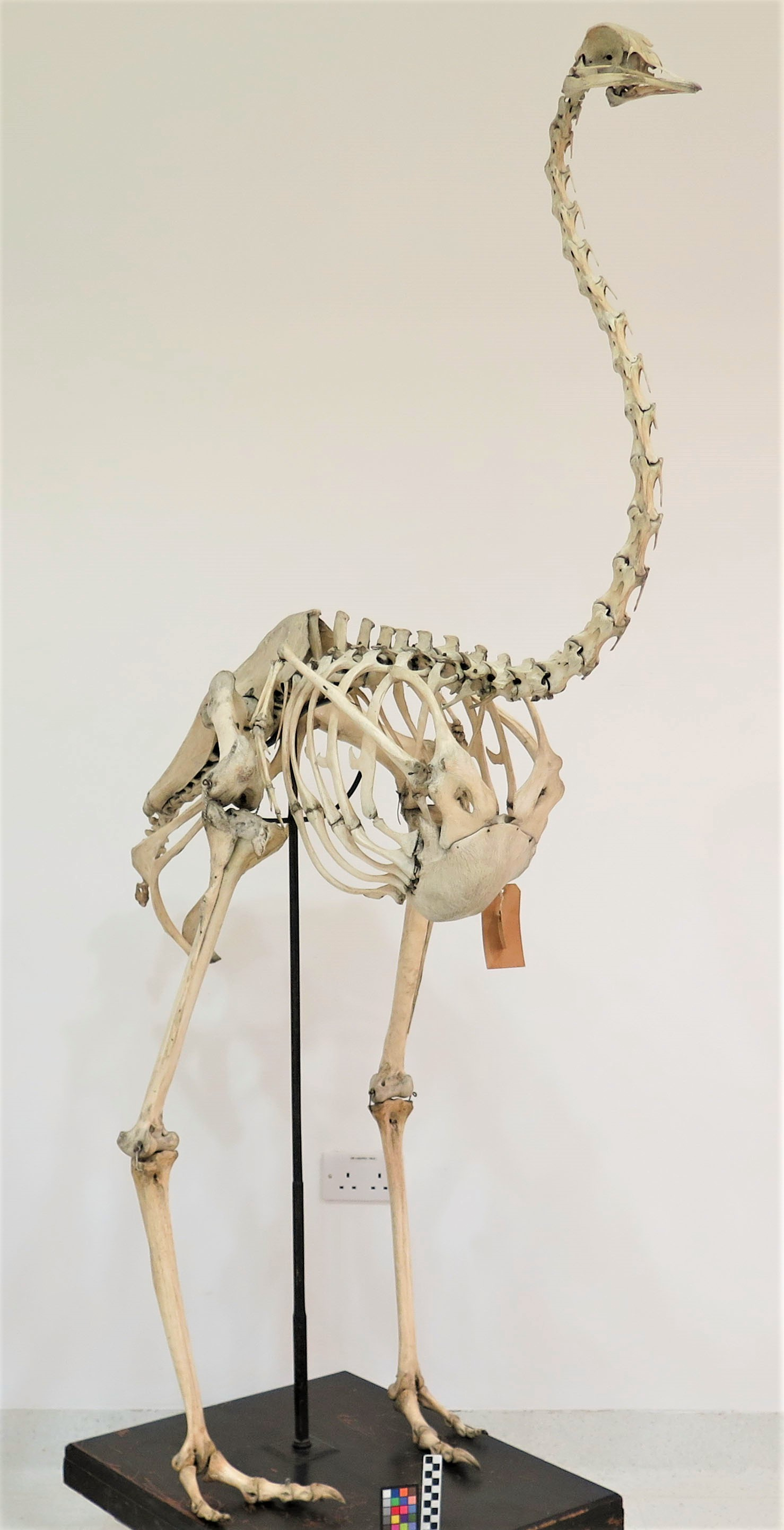 Photograph of the skeleton of an ostrich