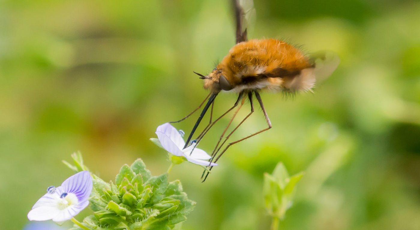 Photograph of a bee fly feeding from a flower