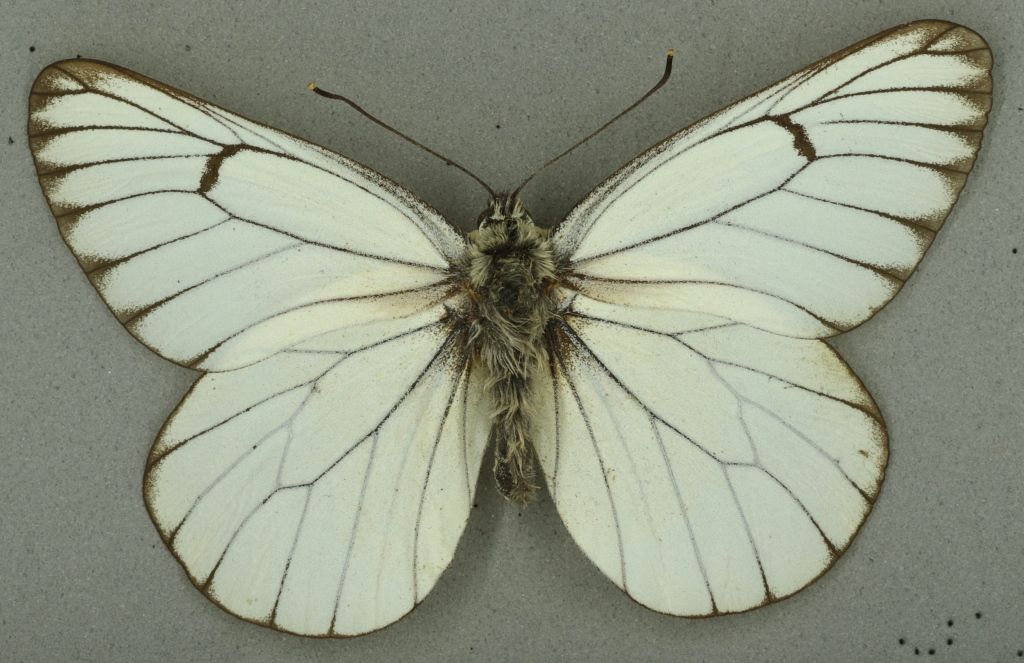 Black-veined white, University Museum of Zoology collection. Copyright University of Cambridge