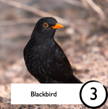 Photograph of a blackbird from Open Your Window Bingo