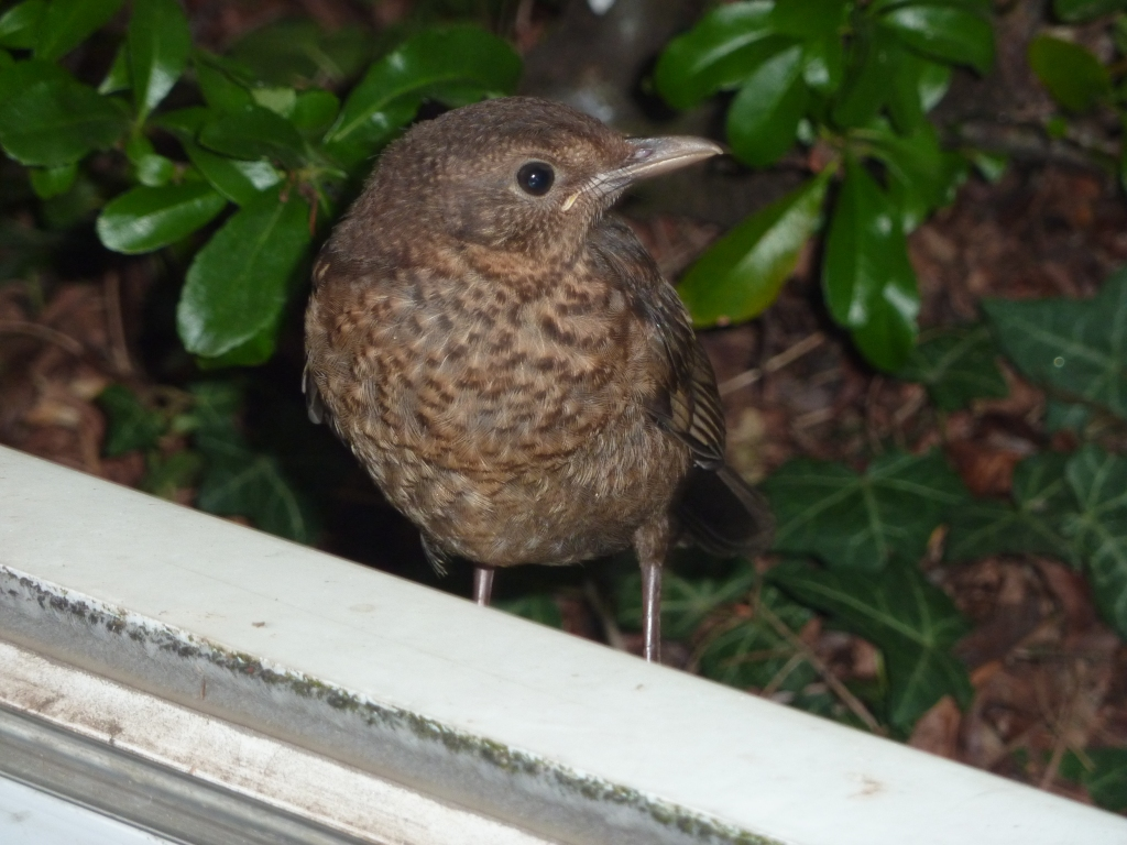 Photograph of a blackbird chick peering in through a window