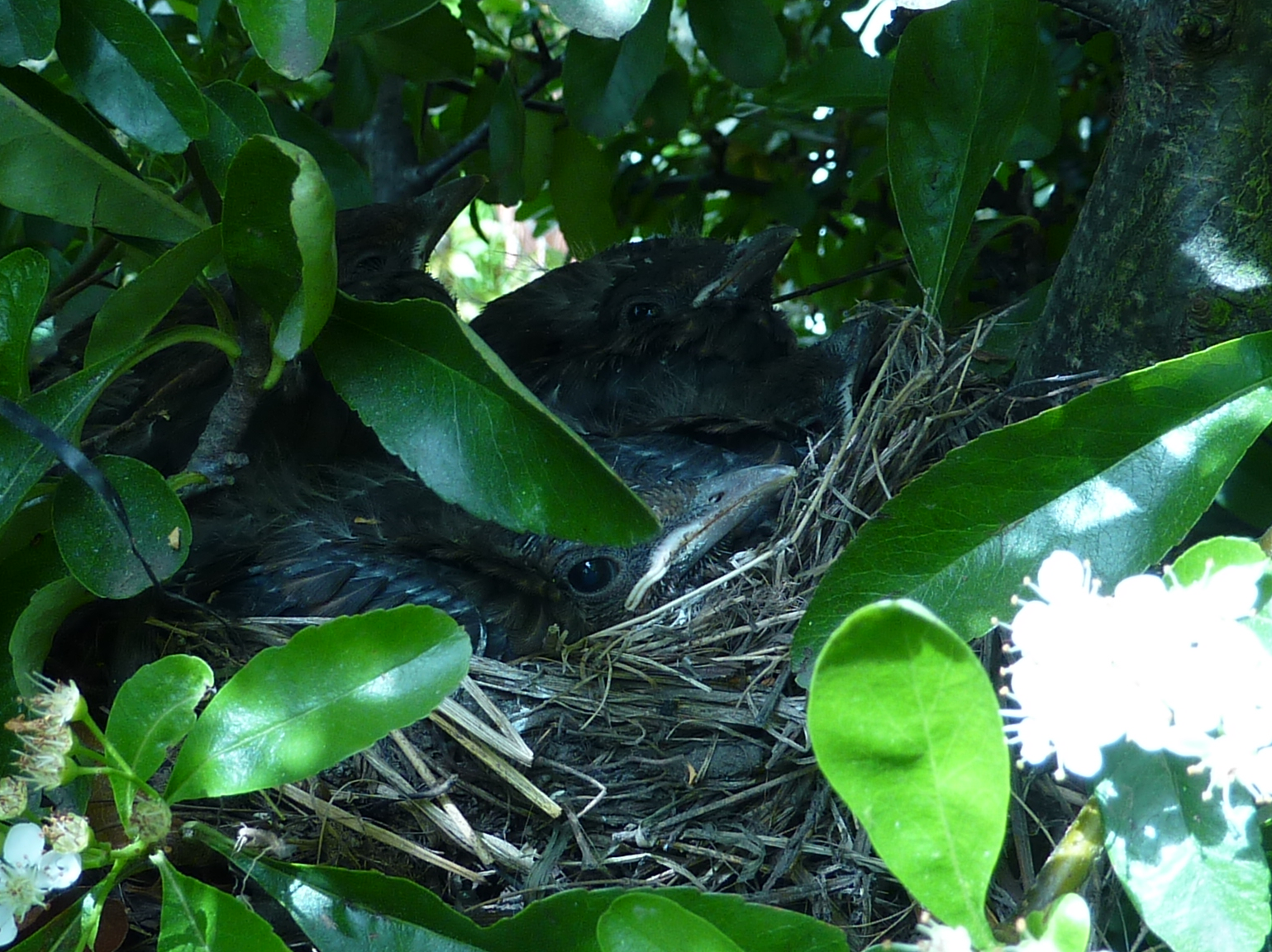 Photograph of blackbird chicks in a nest