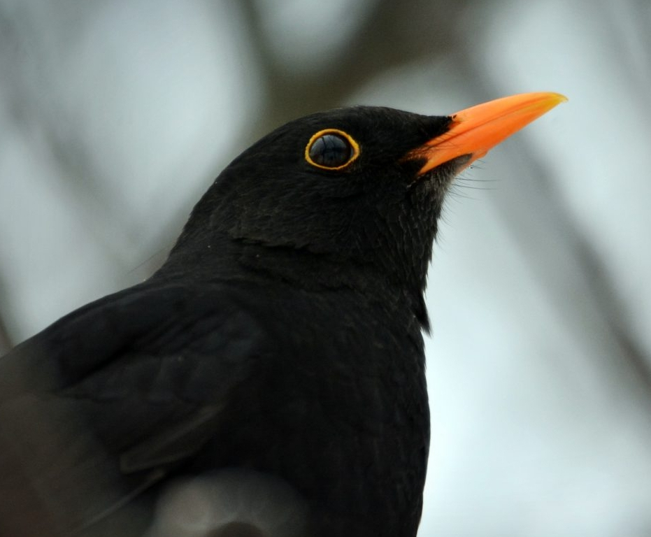 Photograph of a male blackbird