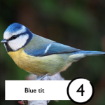 Photograph of a blue tit