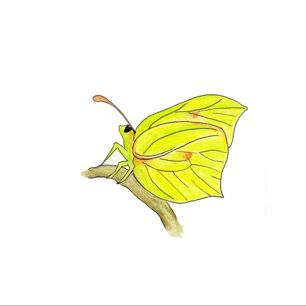 Illustration of a brimstone butterfly