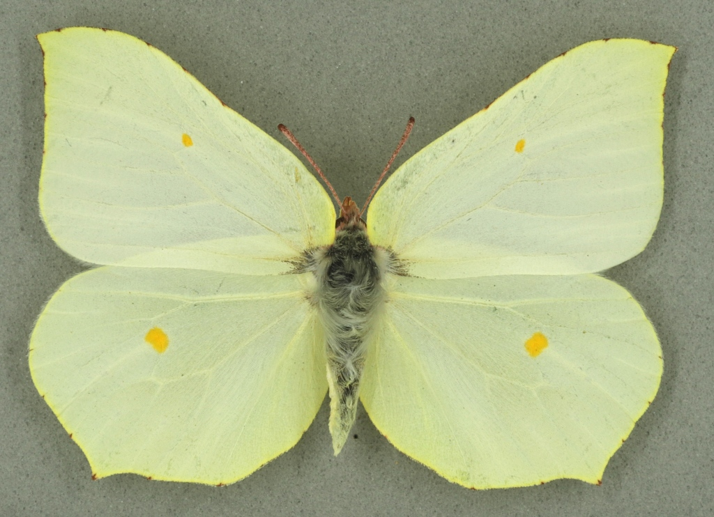 Brimstone female, University Museum of Zoology collection. Copyright University of Cambridge