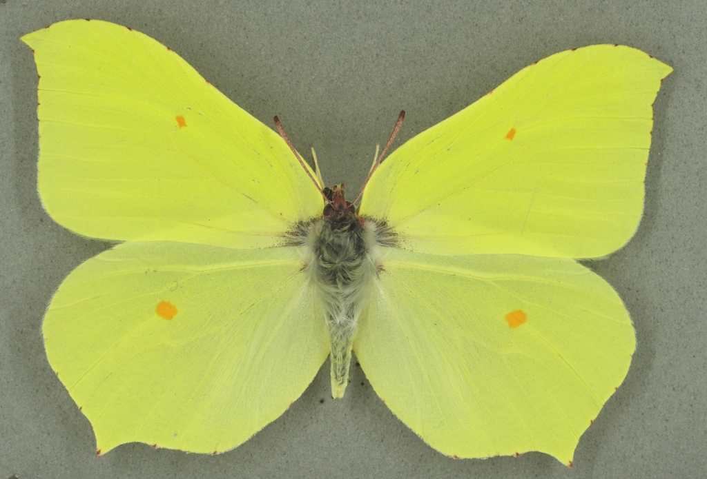 Brimstone male, University Museum of Zoology collection. Copyright University of Cambridge