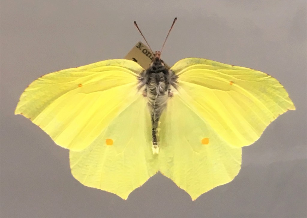 photograph of a brimstone butterfly