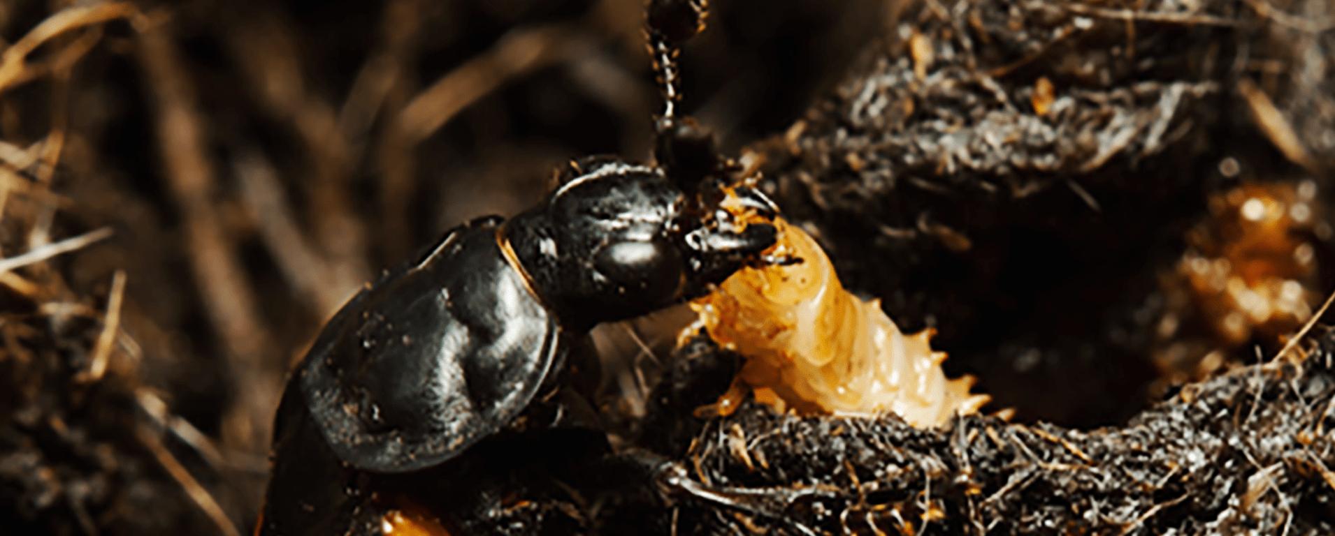 Burying beetle credit T. Houslay