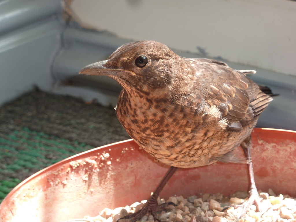 Photograph of a blackbird chick in a tray of food