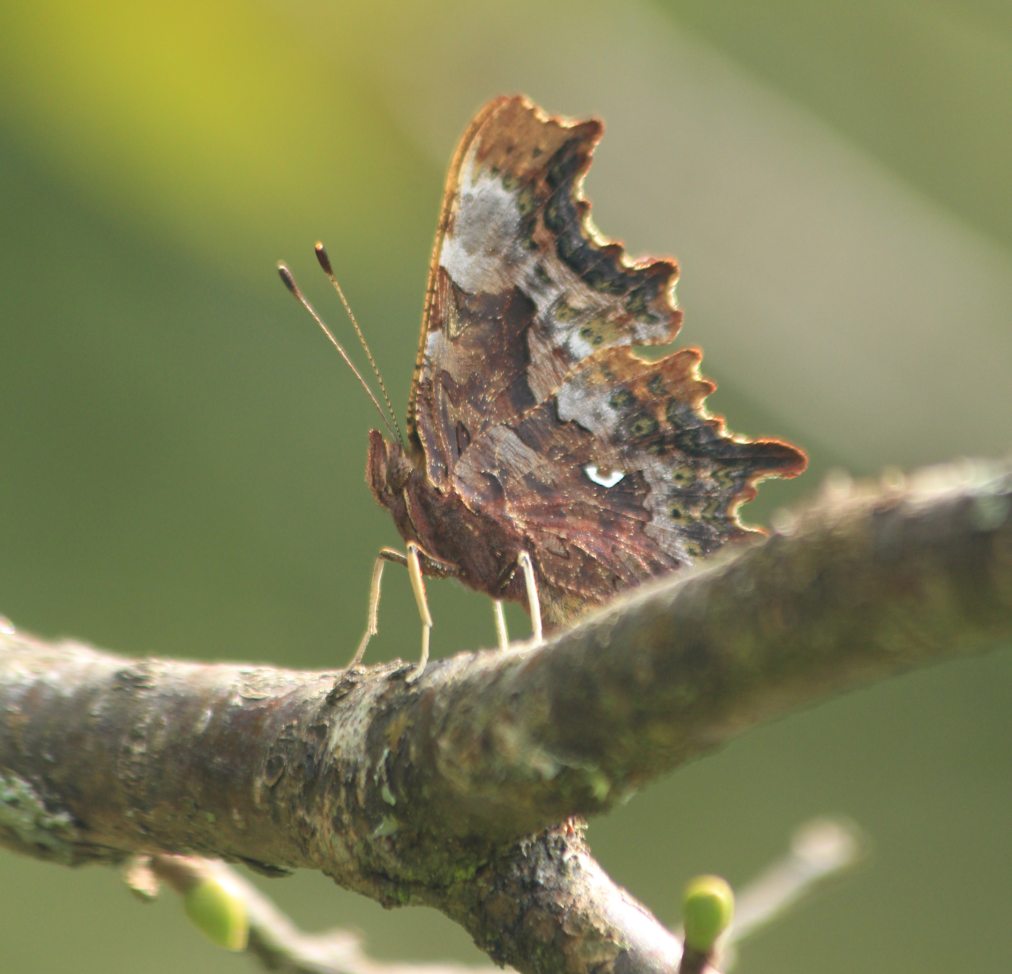 Comma butterfly, Polygonia c-album. Showing underwing. Credit Andrew Bladon