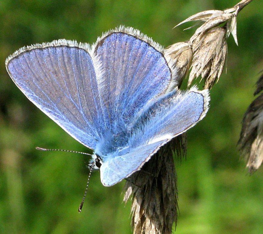 Common blue butterfly. Image credit John Howlett
