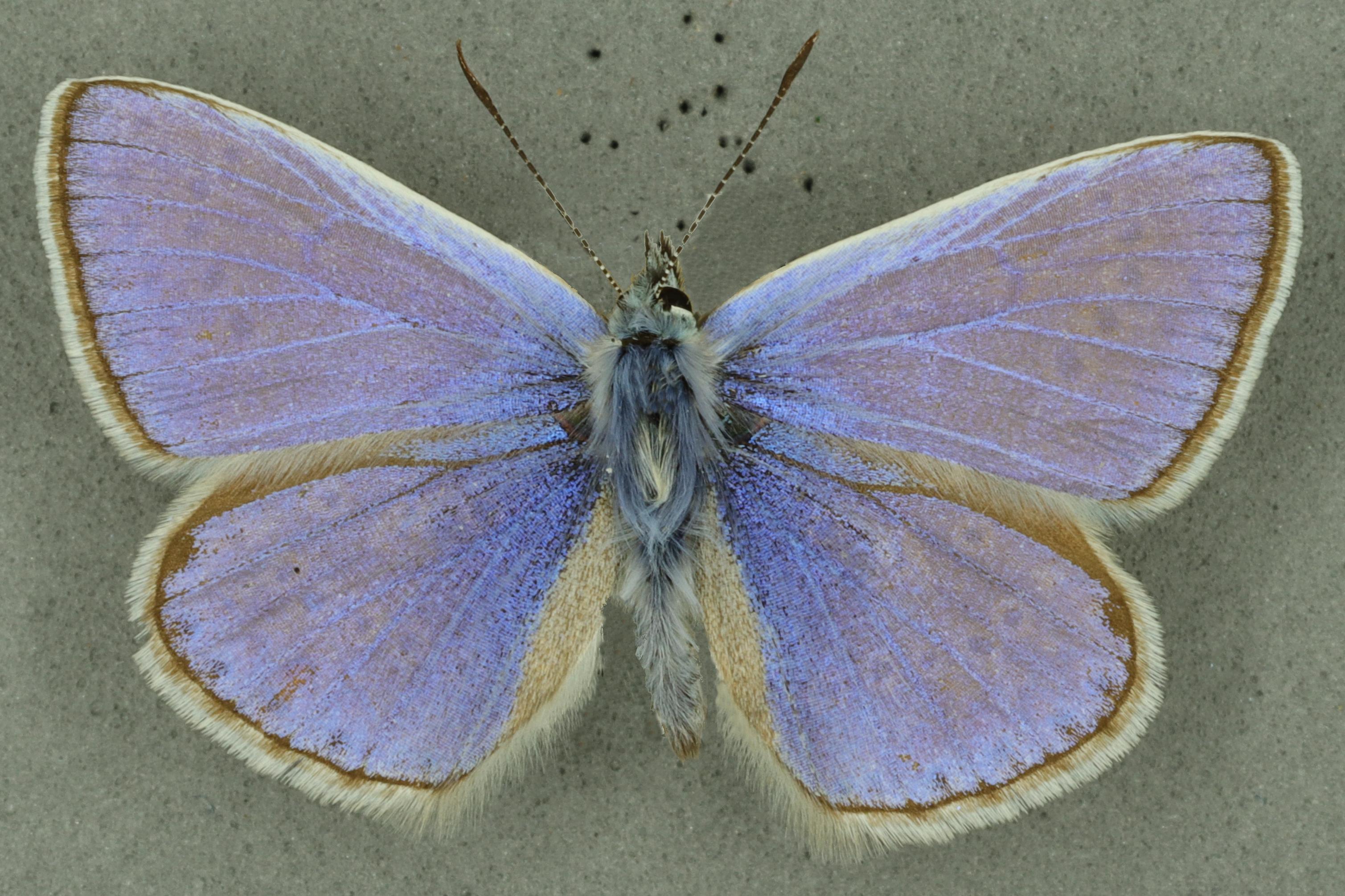 Common Blue, University Museum of Zoology collection, copyright University of Cambridge