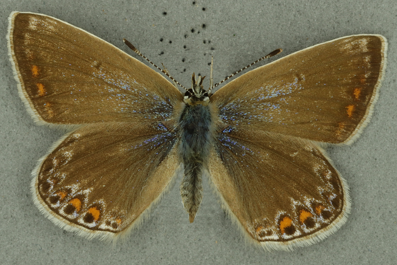 Common blue female, University of Zoology Museum collection, copyright University of Cambridge