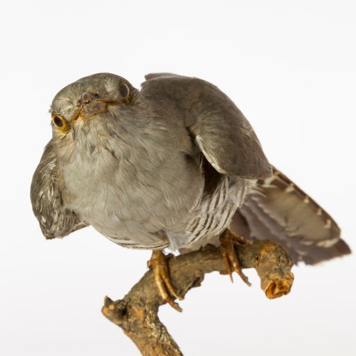 Common Cuckoo, University Museum of Zoology collection. Credit University of Cambridge