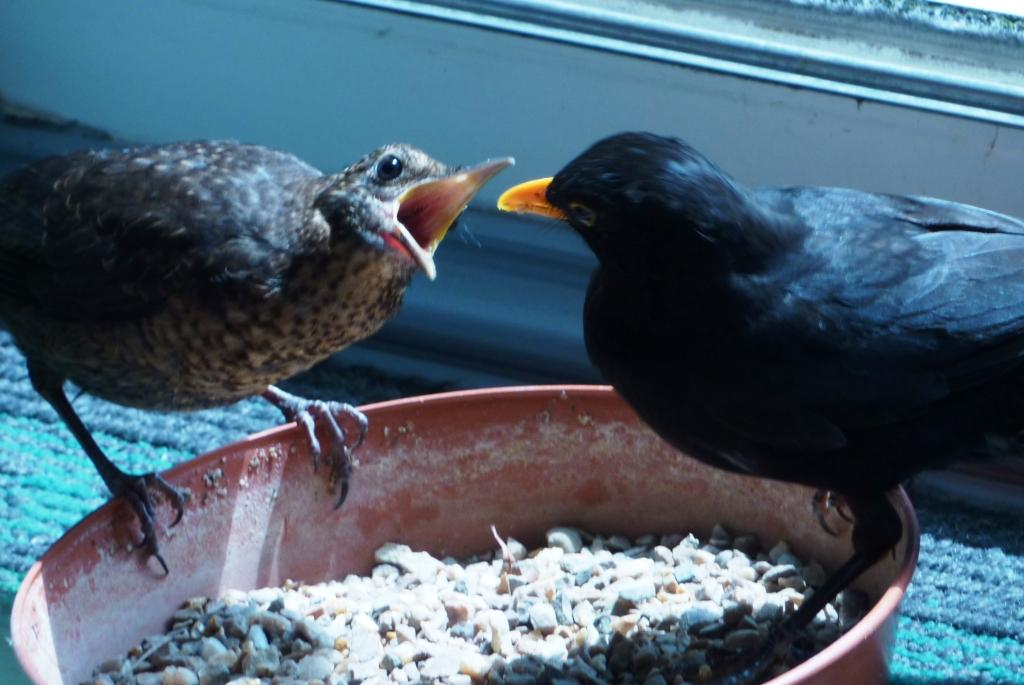 Photograph of male blackbird feeding a chick in food tray