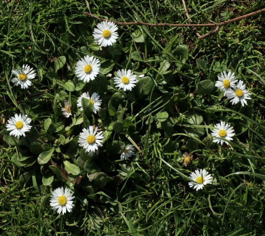 Photograph of daisies take from above