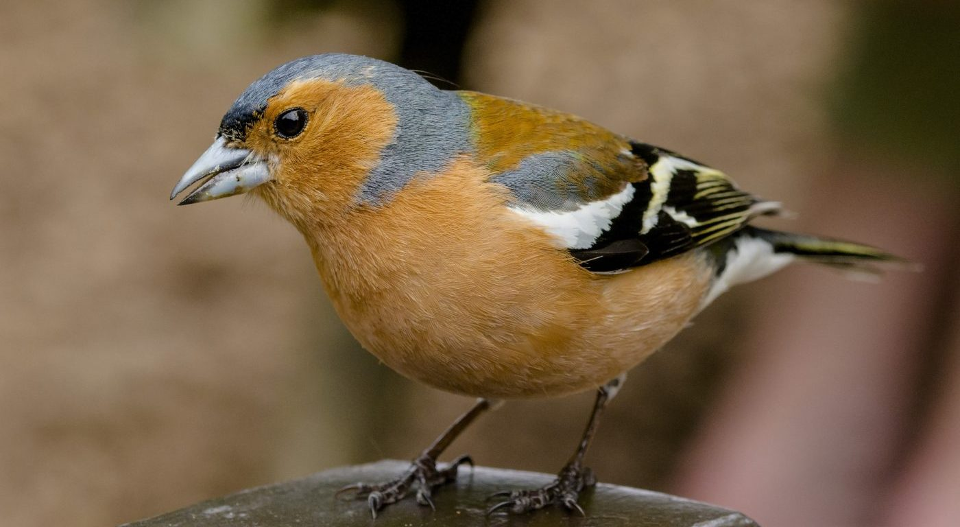 Photograph of a male chaffinch