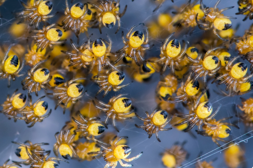 Photograph of yellow spiderlings