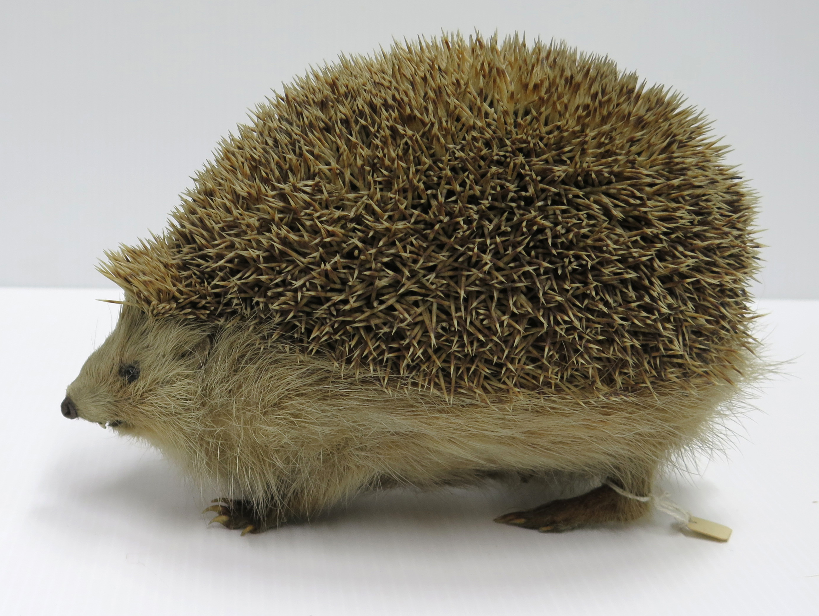 An overstuffed, taxidermy european hedgehog. Erinaceus europaeus, University Museum of Zoology collection. Copyright University of Cambridge