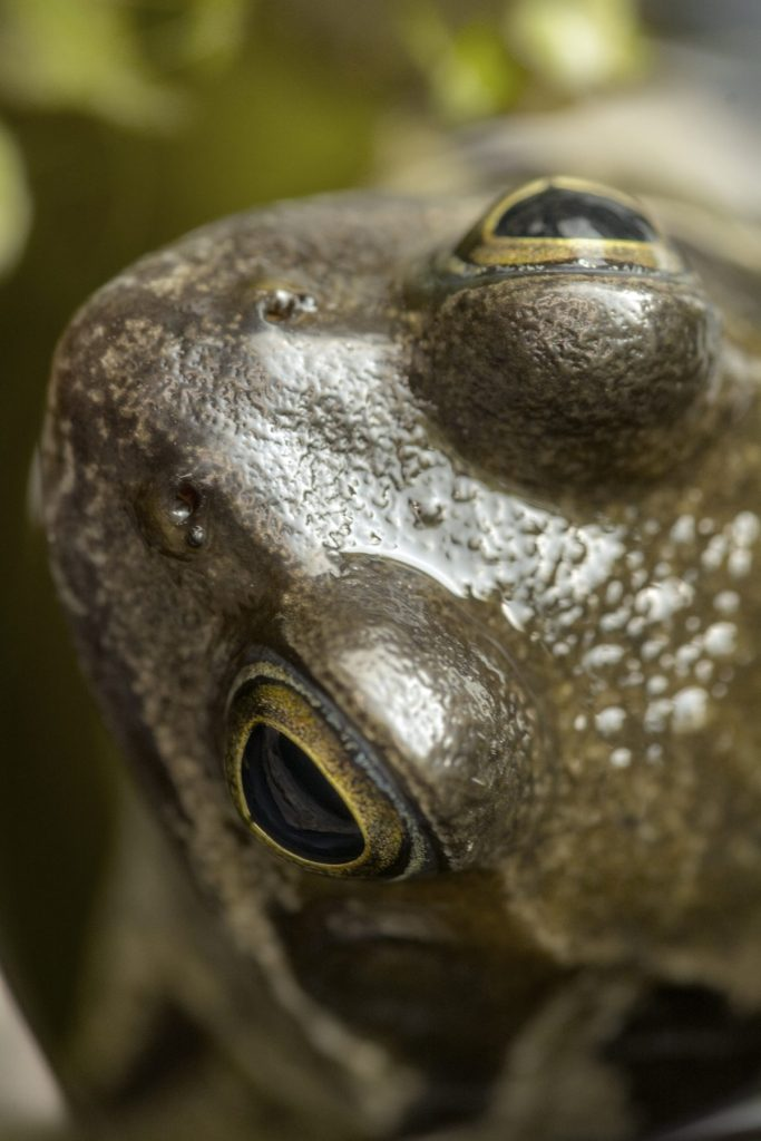 Photograph of the head of a frog from above