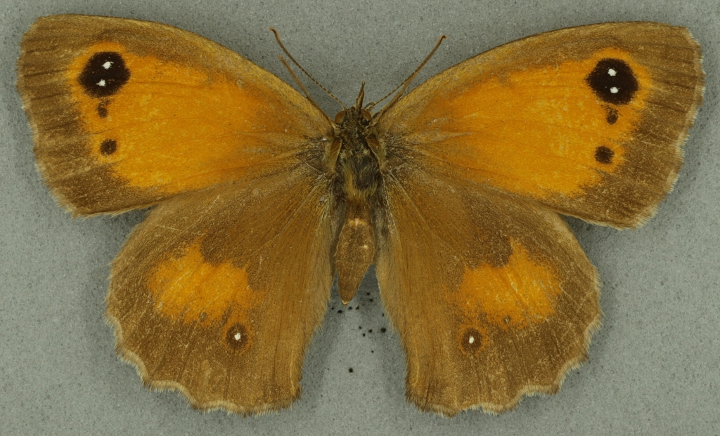 Gatekeeper female. University Museum of Zoology collection. Copyright University of Cambridge