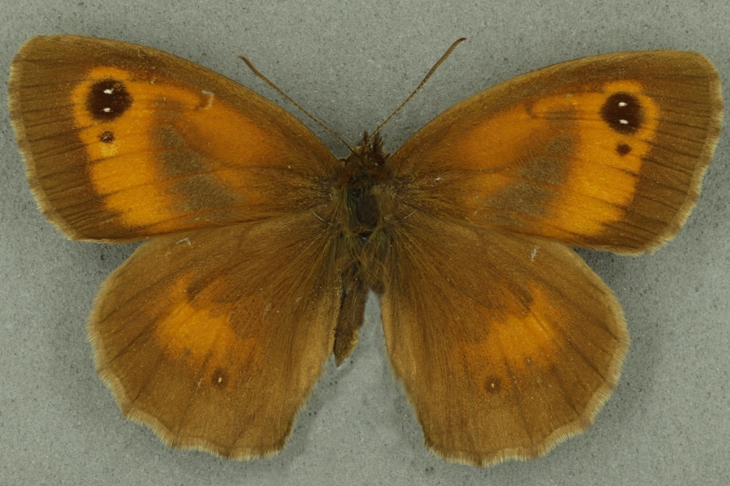 Gatekeeper male. University Museum of Zoology collection. Copyright University of Cambridge