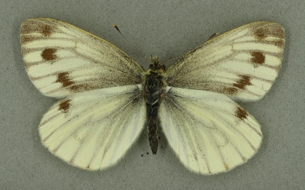 Green-veined white, University Museum of Zoology collection. Copyright University of Cambridge