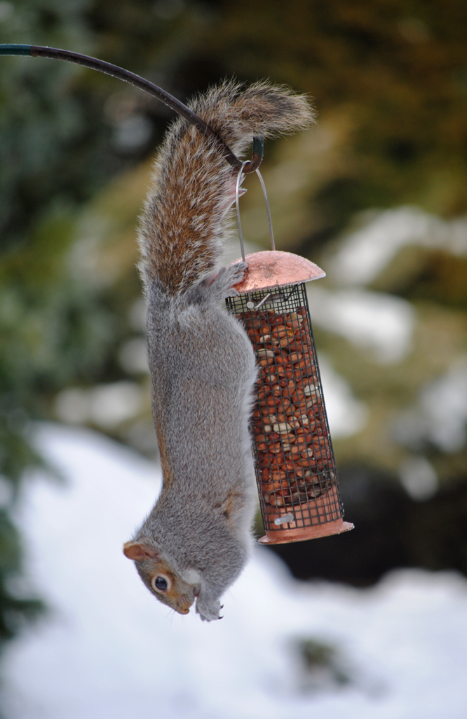 Grey squirrel feeding at a bird feeder