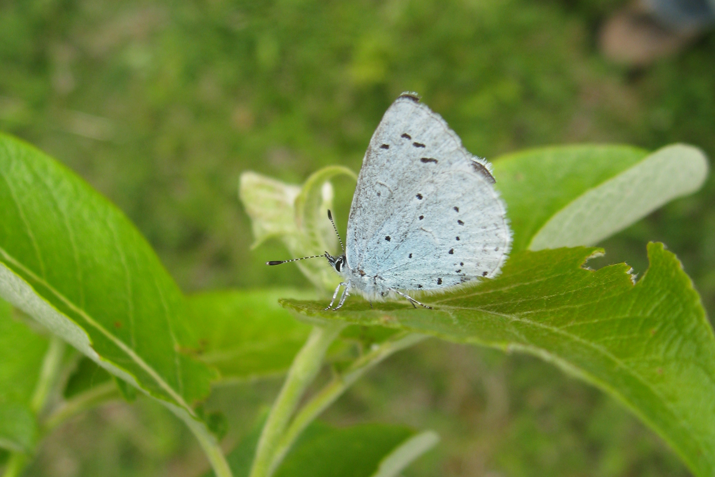 Holly blue underwing, credit Ed Turner