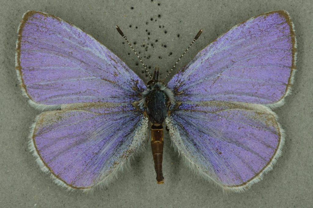 Male holly blue, University Museum of Zoology collection. Copyright University of Cambridge