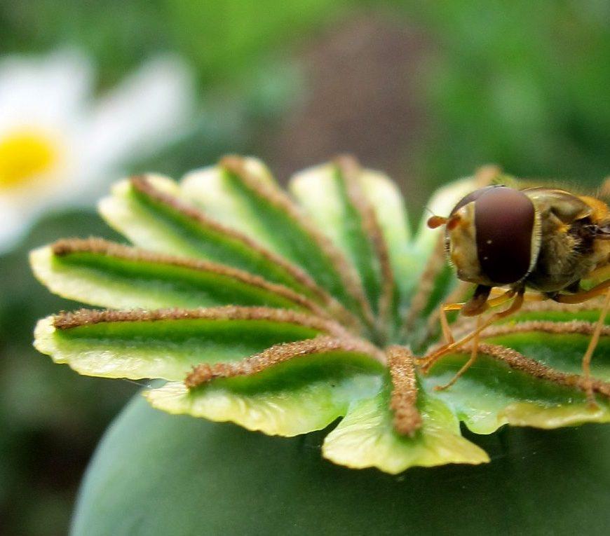 Hover Fly On Poppy Head - credit Kate Howlett