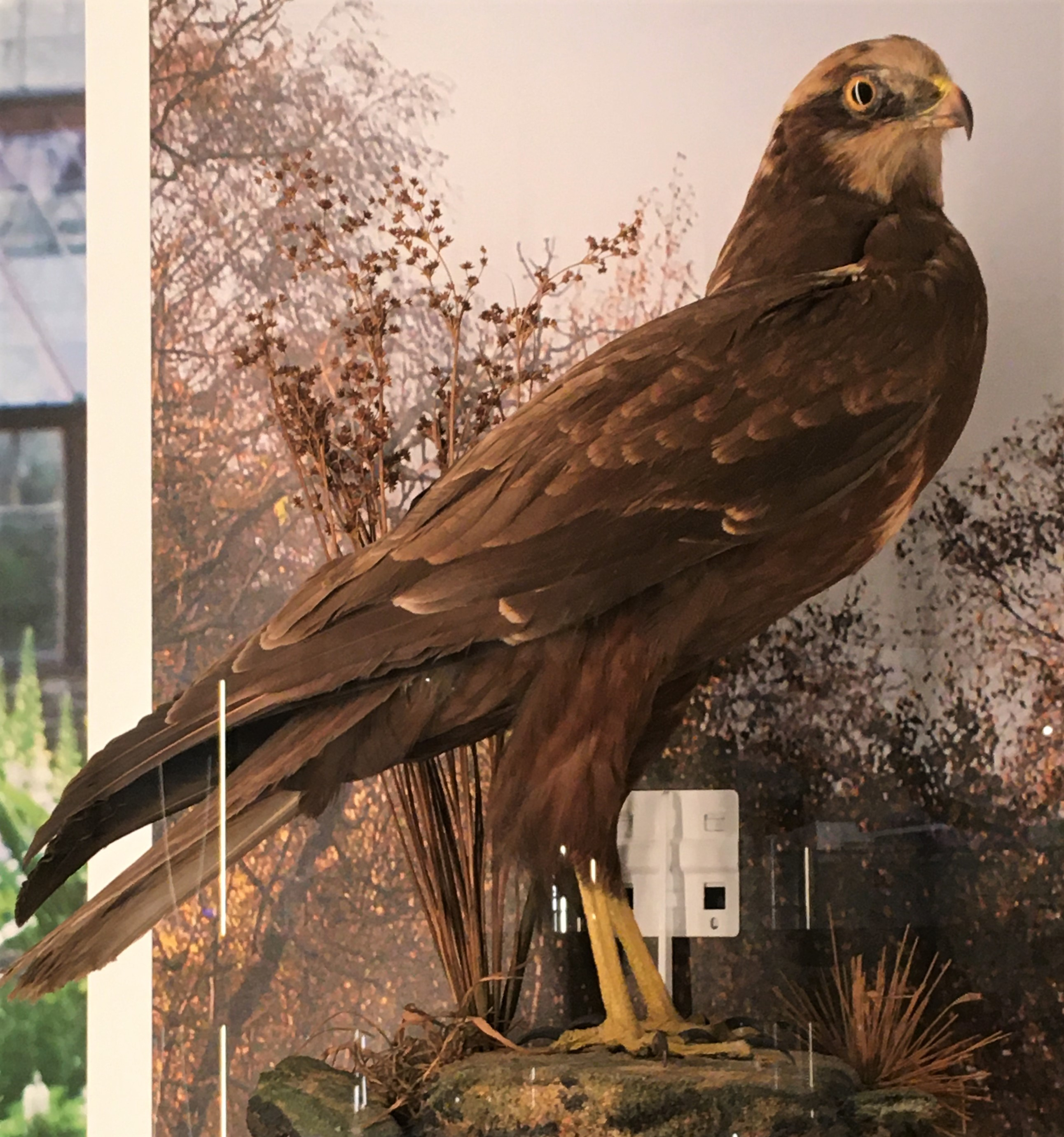 Photograph of a specimen of a marsh harrier at the Musuem of Zoology