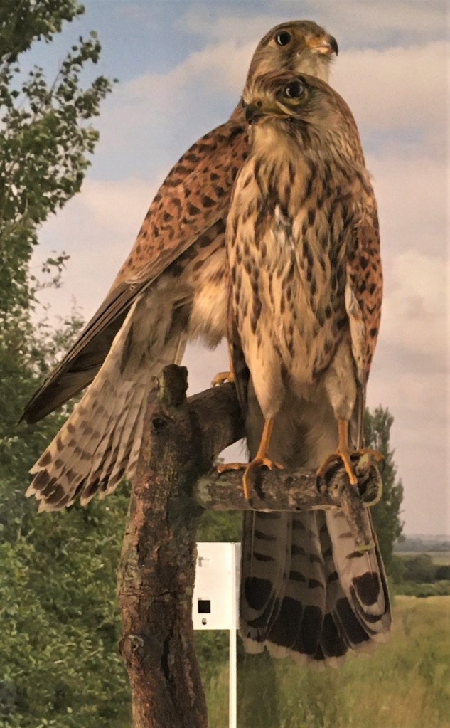Photograph of two kestrel specimens at the Museum of Zoology