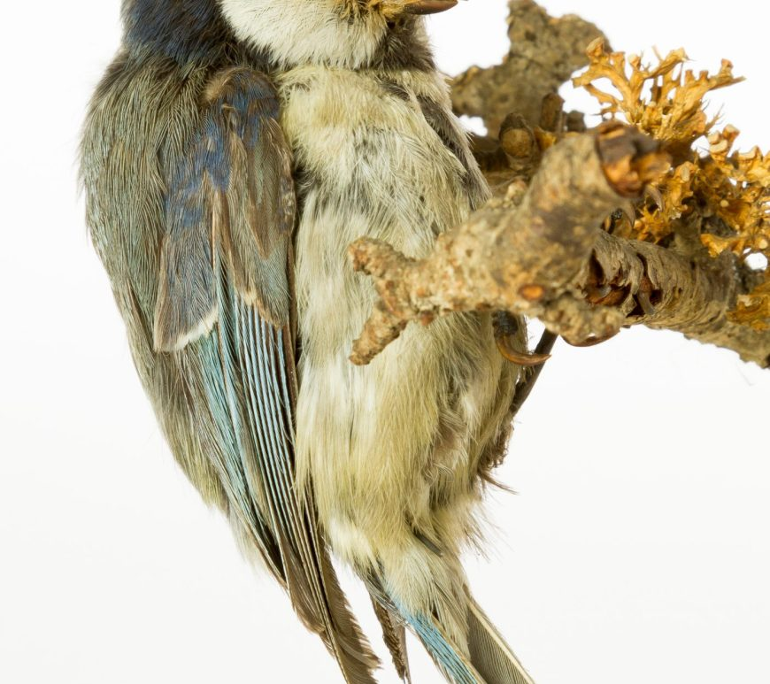 taxidermy blue tit at the Museum of Zoology