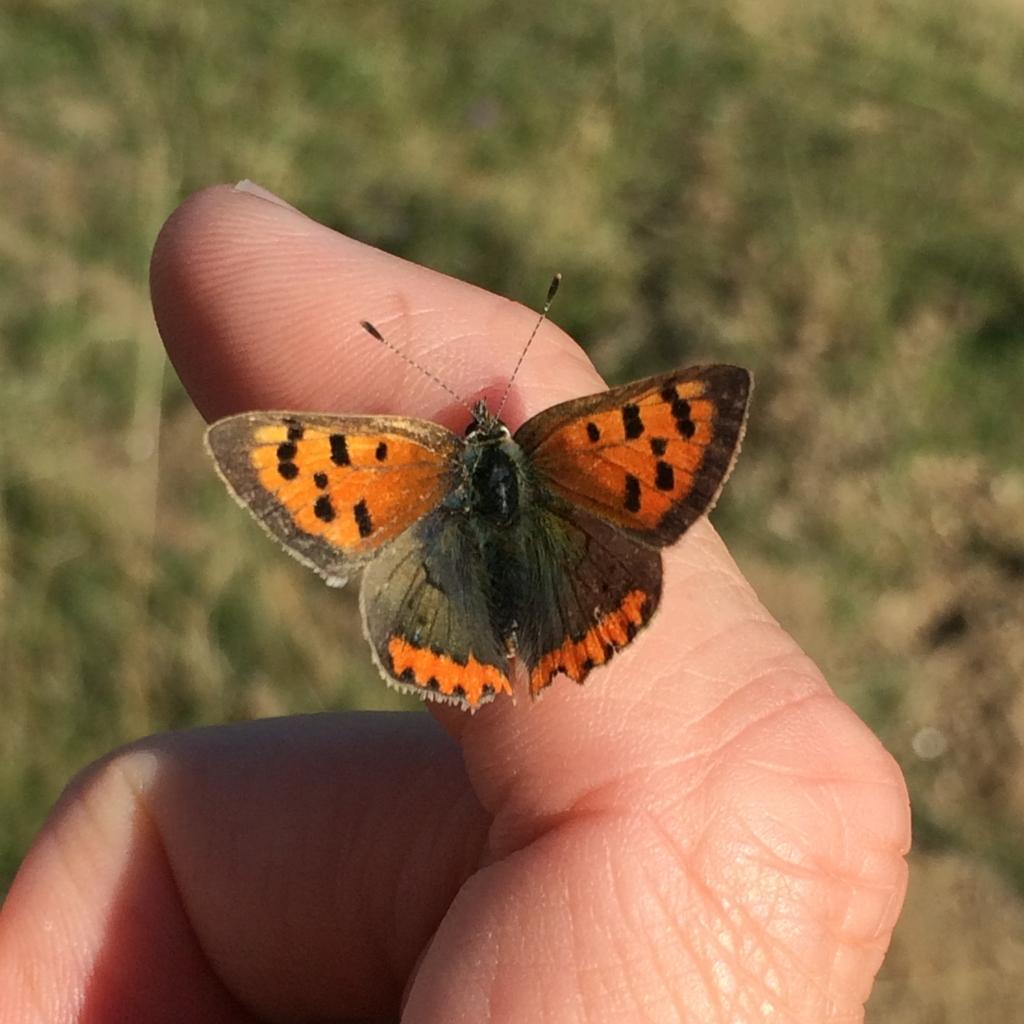 Small copper. Credit Andrew Bladon