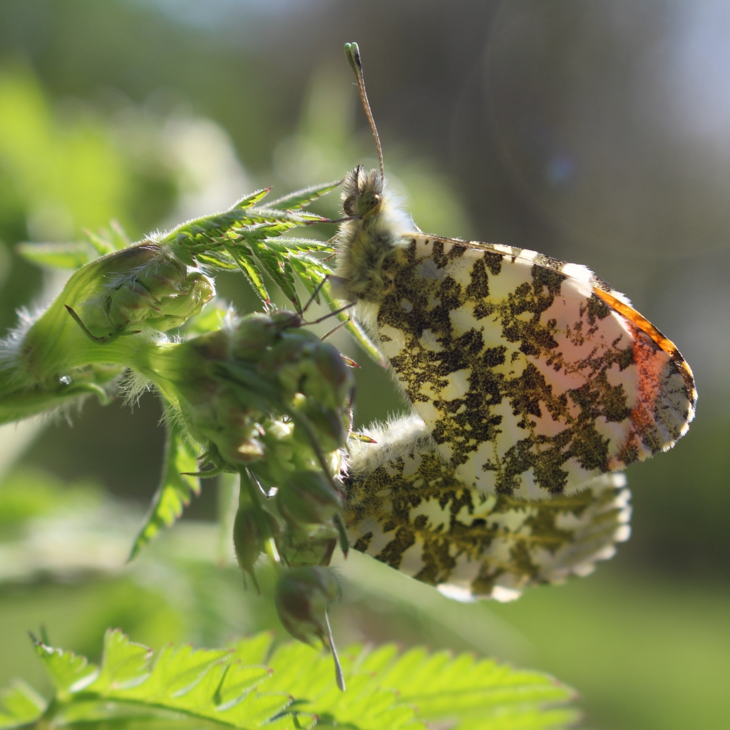 Orange tips, Anthocaris cardamines, stood back-to-back mating. Credit Andrew Bladon