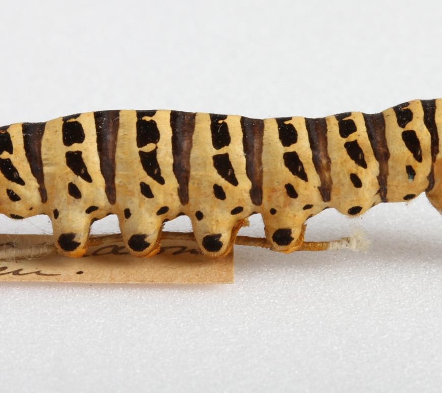 Swallowtail caterpillar UMZC collection