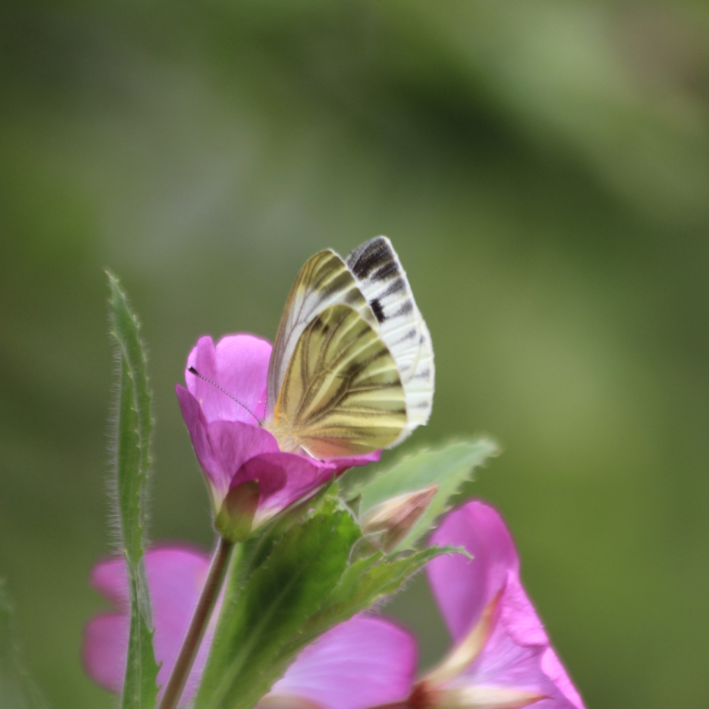 Green-veined white, Pieris napi, Norfolk. Credit Andrew Bladon