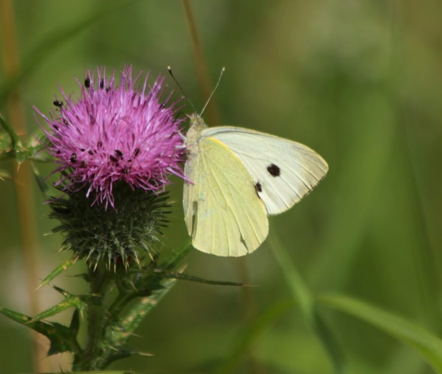 Large white on thistle Wicken Fen. Credit Andrew Bladon