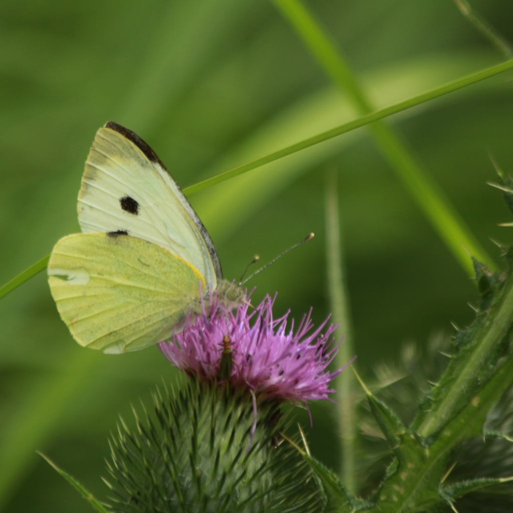Large white, Pieris brassicae, on thistle Wicken Fen. Credit Andrew Bladon
